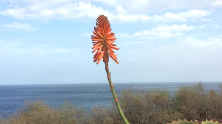 Вера : Aloe juice, plant with flower at the coast of Tenerife and down running juice