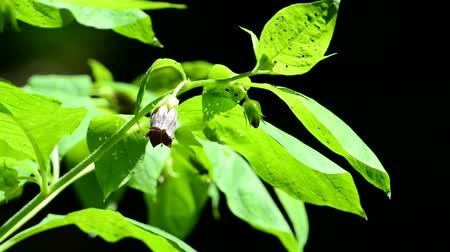 hallucinations : Atropa belladonna, flower of the medical used herb