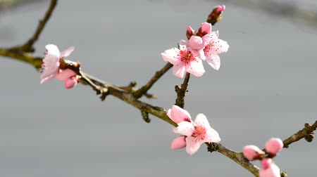 uzun ömürlü : Peach tree with flower in spring