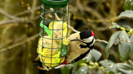 dendrocopos major : great spotted woodpecker at a fodder house in Germany