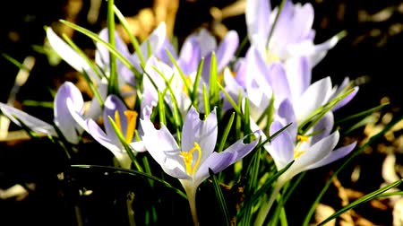 šafrán : falling snow and crocus, flower of spring in Germany