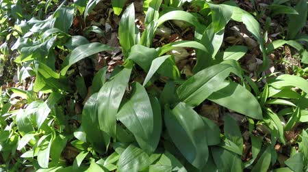 sarımsak : wild garlic in spring, vegetable and medicinal herb in a German forest