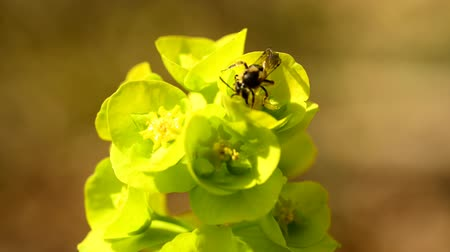 hoverfly : hoverfly on spurge flower in spring in Germany Stock Footage