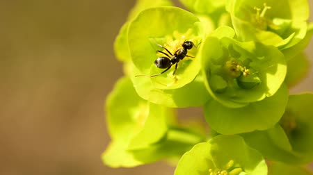 ant : wood ant on spurge flower in spring in Germany Stock Footage