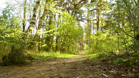 lápide : Scots pine forest near the coast of the Baltic sea in Poland Stock Footage