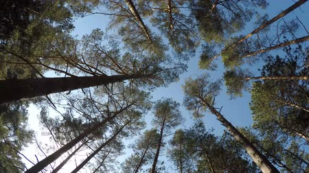 pinus : Scots pines in a forest at the Baltic coast in Poland view up to the head