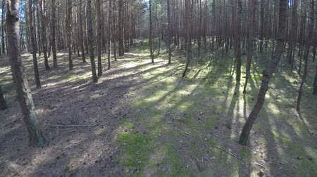 pinus : Walking through a pine forest near the coast of the Baltic sea
