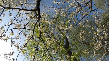 tree frog : Cherry blossom in spring with camera drive Stock Footage