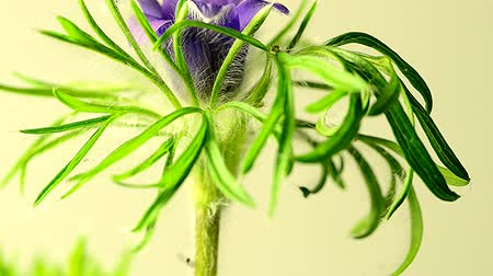 homeopati : European pasque flower, medicinal plant with flower