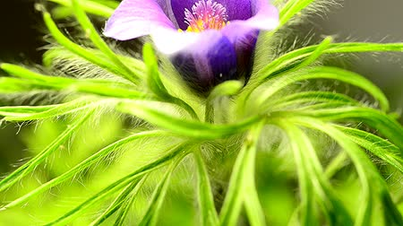 pasque : European pasque flower, medicinal plant with flower