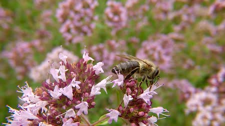 oregano : Bee on flower of wild oregano in Germany