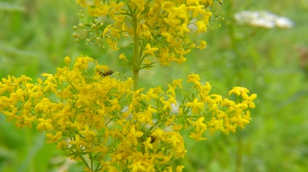 tarte : Ladys bedstraw, spice and medicinal plant with flower