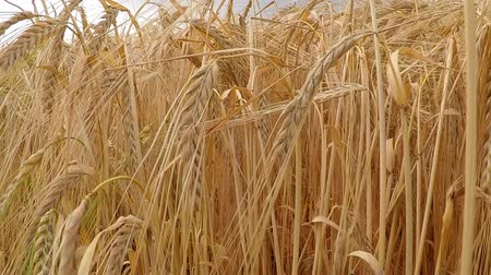 unripe : Barley, field and closeup of head Stock Footage