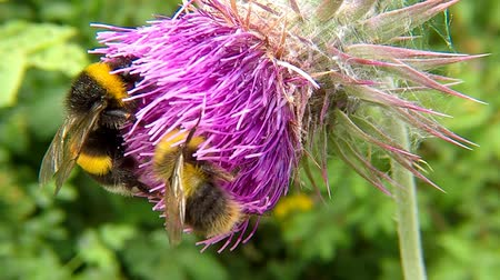 thistle : Northern white-tailed bumblebee on thistle flower in summer in Germany