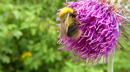 cardo : The early bumblebee on thistle