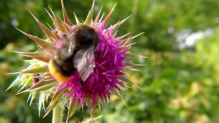 cardo : Bumblebee on thistle flower in summer in Germany