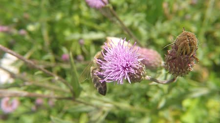 thistle : Bee on flower of thistle in summer in germany Stock Footage