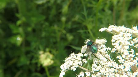 caesar : Greenbottle fly on a carrot in summer in Germany