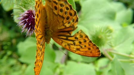 devedikeni : Silver-washed fritillary butterfly on a thistle flower Stok Video