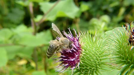 cardo : Honey bee on a flower in summer in Germany