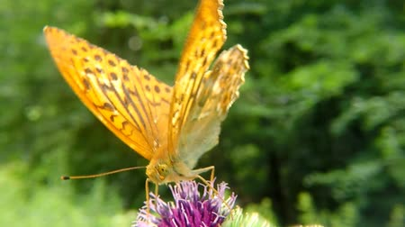 cardo : Silver-washed fritillary butterfly on a thistle flower Vídeos