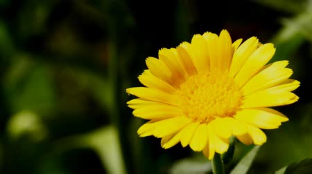 english marigold : Common marigold, medicinal plant with flower