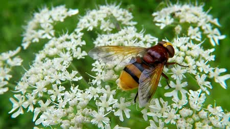 hoverfly : The hornet mimic hoverfly on white flower Stock Footage