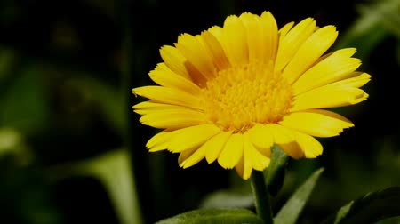 neutro : Common marigold, medicinal plant with flower