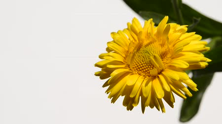 calendula officinalis : Common marigold, medicinal plant with flower