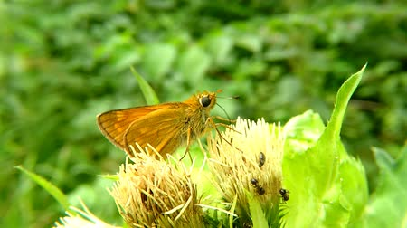 cardo : The large skipper on a thistle flower in Germany