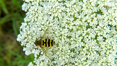 flores silvestres : Hoverfly, Syrphus ribesii, on white flower in summer in Germany