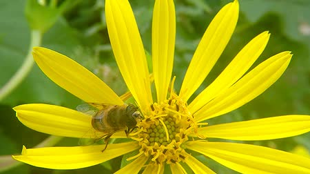 hoverfly : Drone fly, hoverfly on yellow flower