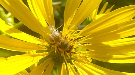 bússola : Honey bee on yellow flower of compass plant