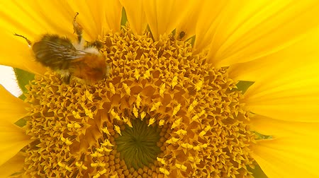sunflower seed : Sunflower, closeup of the flower with bumblebee Stock Footage