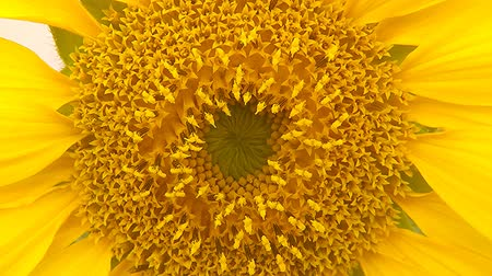 ветреный : Sunflower, closeup of the flower