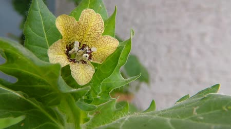 niger : Black henbane, medicine plant with flower Stock Footage