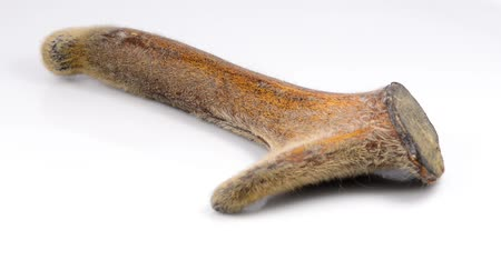 geyik : Deer antler on a turn table