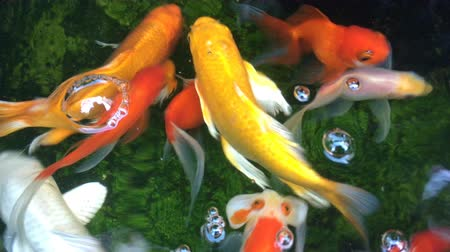oxigênio : Top view shot of Koi fish, Fancy Carp are swimming in pond Stock Footage