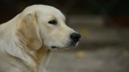 sampiyonlar : golden retriver