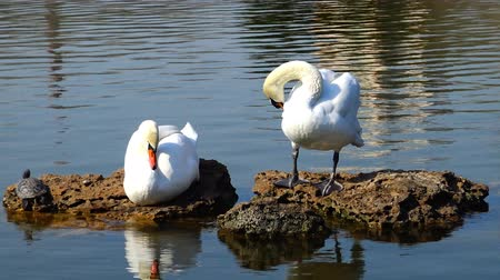 swan silhouette : Swans are standing on a rock, next to a swamp turtle resting
