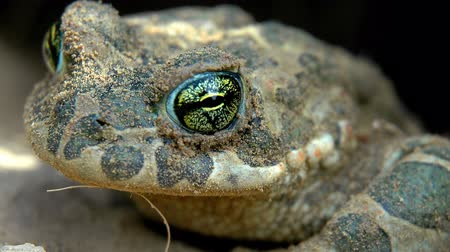 bufo viridis : The common midwife toad (Bufo viridis)