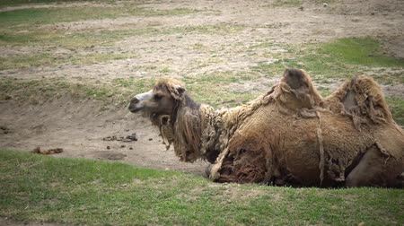 bactrianus : The Bactrian camel (Camelus bactrianus) is a large, even-toed ungulate native to the steppes of Central Asia Stock Footage