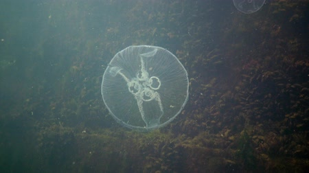 zoologia : A jellyfish floating in the water column. Aurelia aurita (also called the common jellyfish, moon jellyfish, moon jelly, or saucer jelly) is a cultivated species of the genus Aurelia