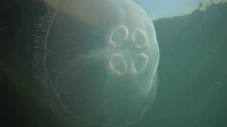 zooloji : A jellyfish floating in the water column. Aurelia aurita (also called the common jellyfish, moon jellyfish, moon jelly, or saucer jelly) is a cultivated species of the genus Aurelia