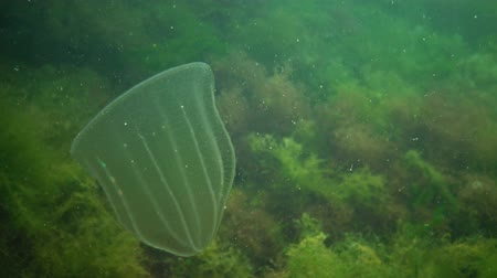zoolojik : Ctenophores, Predatory comb jelly (Beroe ovata) swim in the water in search of food. Fauna of the Black Sea. Ukraine