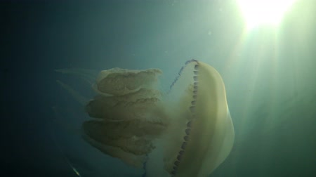 saltwater : Rhizostoma pulmo, commonly known as the barrel jellyfish, the dustbin-lid jellyfish or the frilly-mouthed jellyfish, is a scyphomedusa in the family Rhizostomatidae
