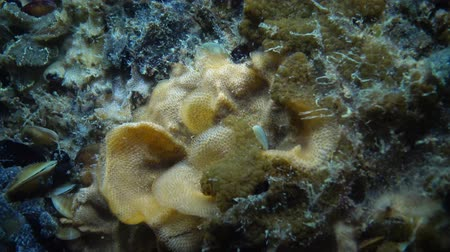 colonial : Botryllus schlosseri, commonly known as the star ascidian or golden star tunicate, is a colonial ascidian tunicate that grows on slow-moving, submerged objects