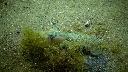 zoolojik : Sea cliff (Upogebia pusilla) - a species of crustaceans of the superfamily kalianasov. The species is listed in the Red Data Book of Ukraine.