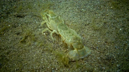 zoologia : Sea cliff (Upogebia pusilla) - a species of crustaceans of the superfamily kalianasov. The species is listed in the Red Data Book of Ukraine.
