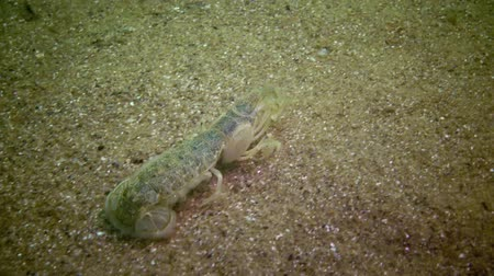 karides : Sea cliff (Upogebia pusilla) - a species of crustaceans of the superfamily kalianasov. The species is listed in the Red Data Book of Ukraine.